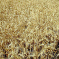 Wheat_field_at_harvest_time_by_bet_guvri