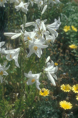 Lilly_509_madonna_lily_maoz_zion_gs